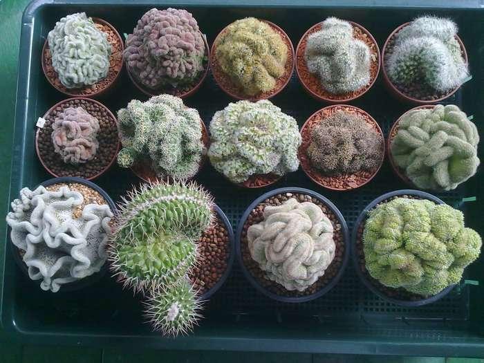 все вид кактусов фото уход