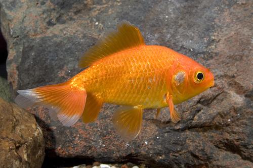 Почему краснеет вокруг анального отверстия у рыбки